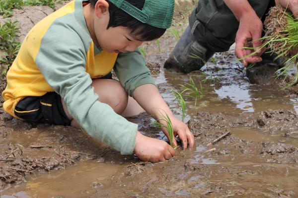 香り米プロジェクト 大事に稲を植える